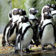 Pinguine — Stockfoto