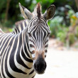 Zebra — Stock Photo #12016674