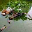 Ducks in pond — Stock Photo