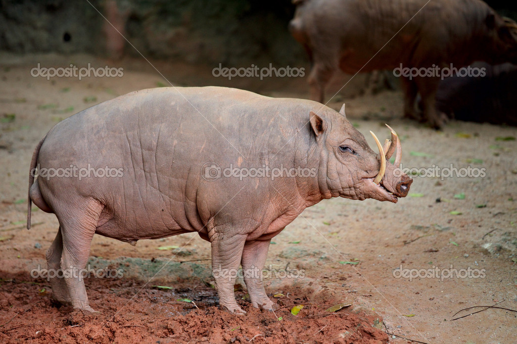 Babirusa  Stock Photo #12016715