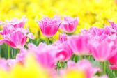 Tulipán v květu pole — Stock fotografie