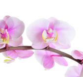 цветок орхидеи — Стоковое фото