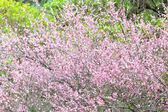 Plum flower blossom — Stock Photo