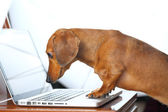 Dog using computer — Stock Photo