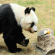 Giant panda — Stock Photo #12235554