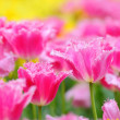 Tulip in flower field - Foto Stock