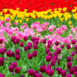 Tulip in flower field - 图库照片