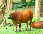 Cow in natural environment — Stock Photo