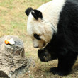 Giant panda eating - Stock Photo