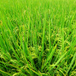 Green field, Asia paddy field — Stock Photo #12280656