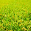 Paddy field — Stockfoto #12280660