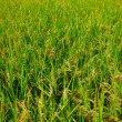 Green field, Asia paddy field — Stock Photo #12359851