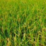 Green field, Asia paddy field — Stock Photo
