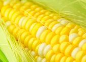 Corn cob — Stock Photo