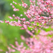 Flowers of cherry blossoms on spring day — Stockfoto