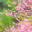 Stock Photo: Flowers of cherry blossoms on spring day