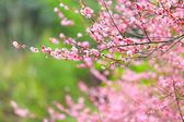 Flowers of cherry blossoms on spring day — Stock Photo