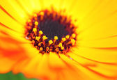 Orange color flower in close up — Stock Photo
