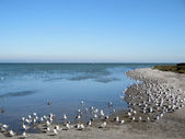Western Gulls rest on the beach — Stock Photo