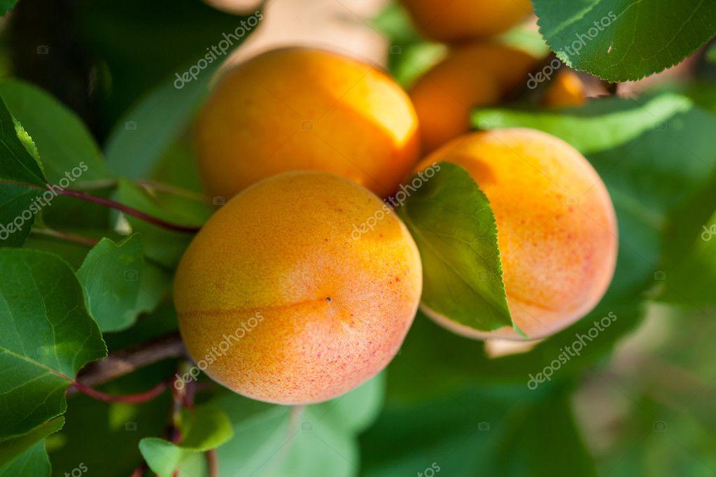 精细, 成熟的杏子,绿色叶子的树上 — 照片作者 ambrits