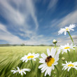 Oxeye Daisies — Stock Photo