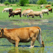 Stock Photo: Cow in water