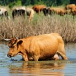 Cow in water — Stock Photo #11507278