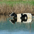 Cow in water — Stock Photo