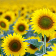 Field of sunflowers — Stock Photo #11467659