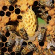 Life and reproduction of bees — Stock Photo #11405982