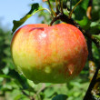 Apple after the rain — Stock Photo