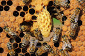 Life and reproduction of bees — Stock Photo