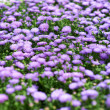 A sea of Lilac - Stock Photo
