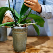 Royalty-Free Stock Photo: Expert hands tending a plant