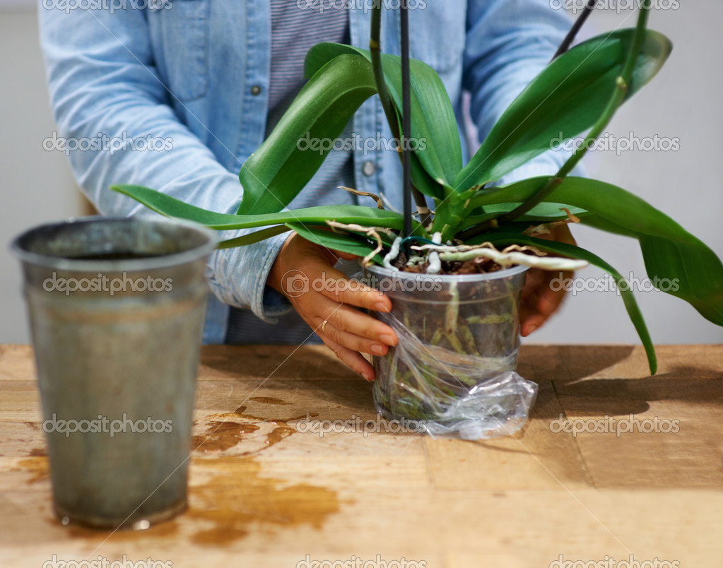 Cropped view of a florist's hands as she attends to the leaves of an orchid   #12240008