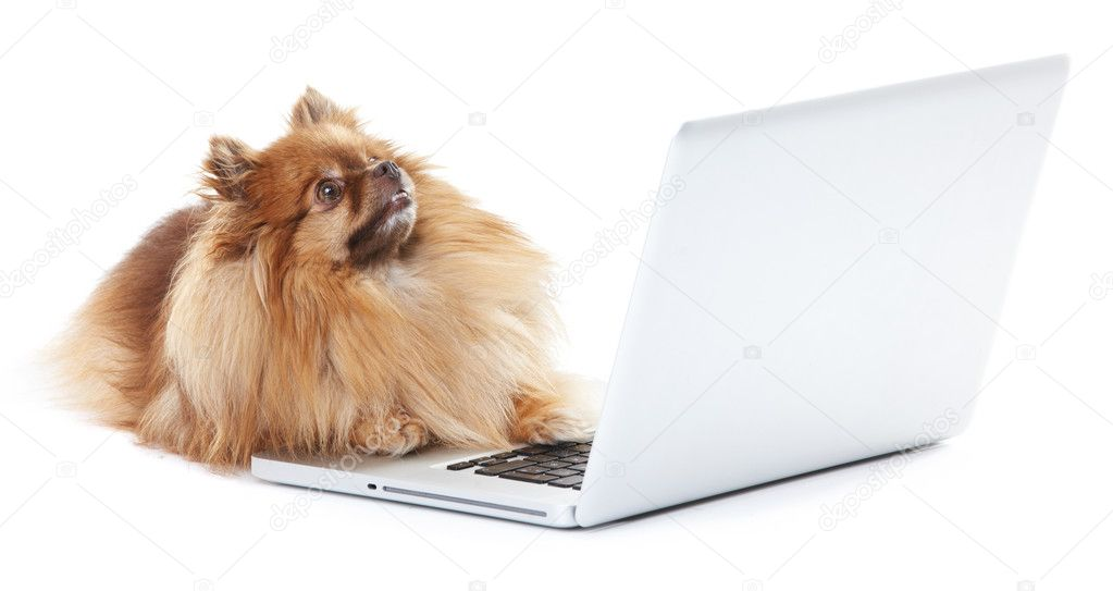 Pomeranian dog lying in front of a laptop — Stock Photo #12241147