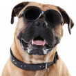 I may only be a dog, but I've got style! - Stok fotoğraf