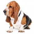 Profile of a healthy basset hound - Foto Stock