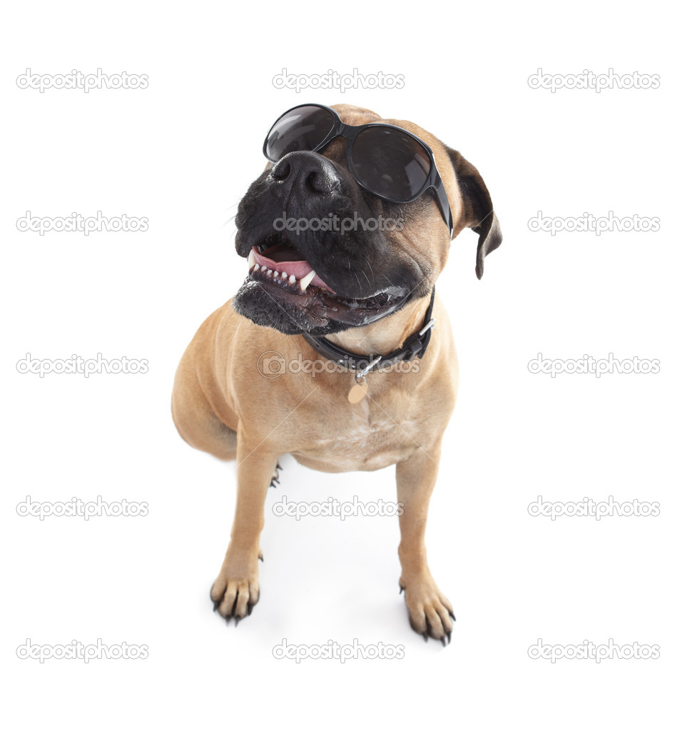 Portrait of a bull mastiff wearing sunglasses while isolated on white — Stock Photo #12303714