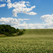 Buckwheat field on blue sky background — Stock Photo