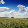 Buckwheat field on blue sky background - Stock Photo