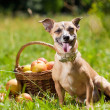 Toy Terrier — Stock Photo #11461569