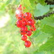 Red currant berries. — Stock Photo