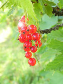 Porzeczki czerwone jagody. — Zdjęcie stockowe