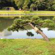 Stock Photo: Japanese pine