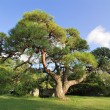 Scenic pine tree — Stock Photo