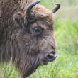 European bison — Stock Photo