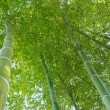 Bamboo forest up — Stock Photo #12078667