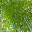 Bamboo forest up — Stock Photo