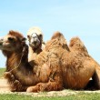 Stock Photo: Two camels